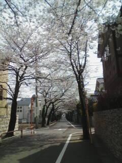 桜のトンネル完成間近